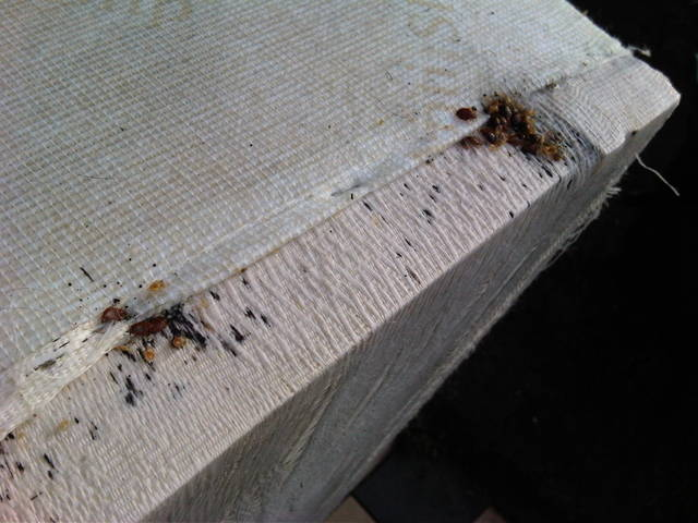 Bed Bug Feces Hard